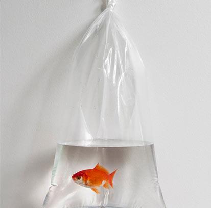 Goldfisch mit Wasser in Plastiksack